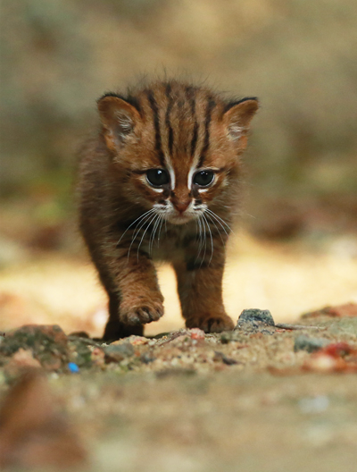 Rusty Spotted Cat (Prionailurus rubiginosus)