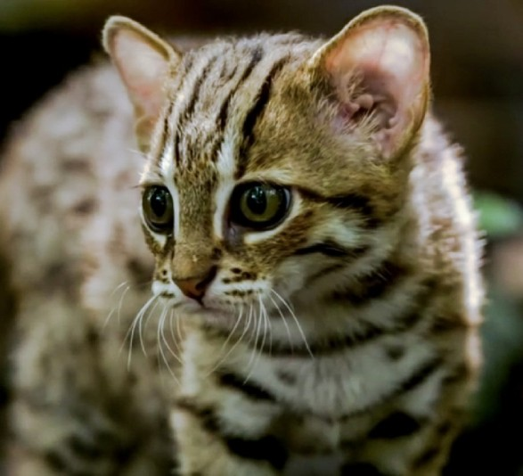 rusty-spotted-cat-A