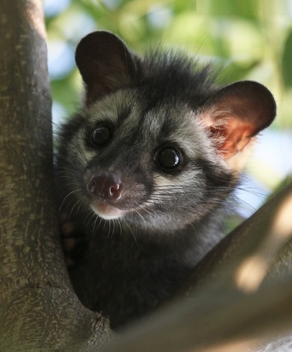 Common Civet