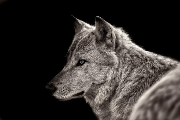 Wolves_Black_background_Snout_516935_1280x853