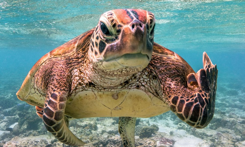 Swearing turtle